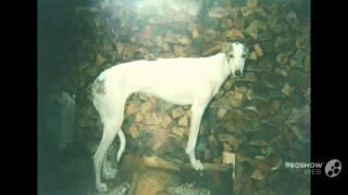 Хортая борзая порода собак