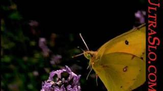 ButterFly in UltraSlo slow motion 5000FPS