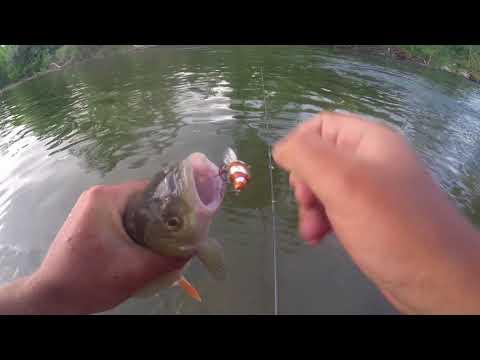 BFS Chub Fishing With SPRO Ikiru Mini-Crank