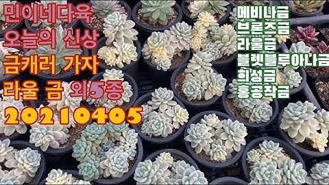 민이네다육/신상 라울금 외 5종소개/010-6863-0625/택배가능/경기도 하남시 천현동 524-1