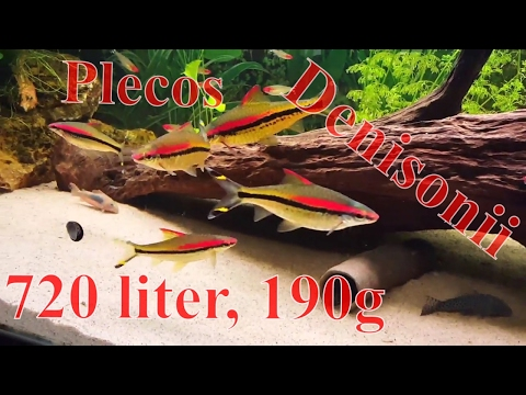 720 Liter(190 Gal) Aquarium With Big Beautiful Denisonii And Lots Of Different Plecos.
