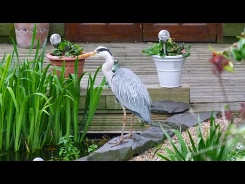 Grey Heron Fishing And Taking A Plunge In The Pond!