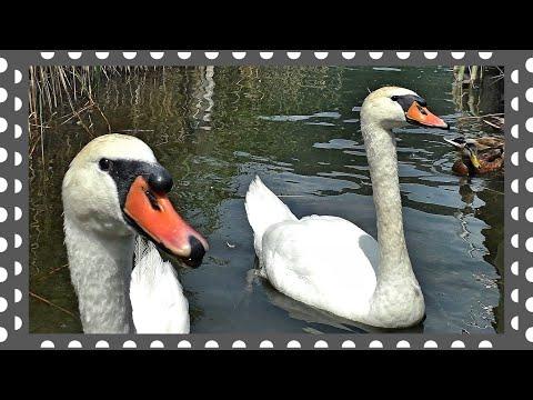 Белые лебеди дали людям знак. Почти мистика! - YouTube