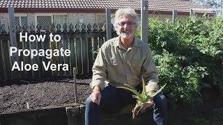 How to Propagate Aloe Vera