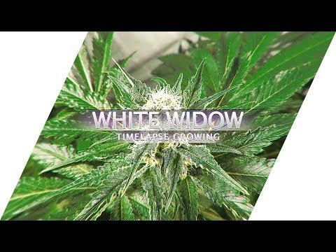 White Widow. Timelapse ganja growing