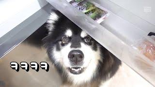 심멎주의. 눈치백단 대형견에게 냉장고란? 강아지 말라뮤…