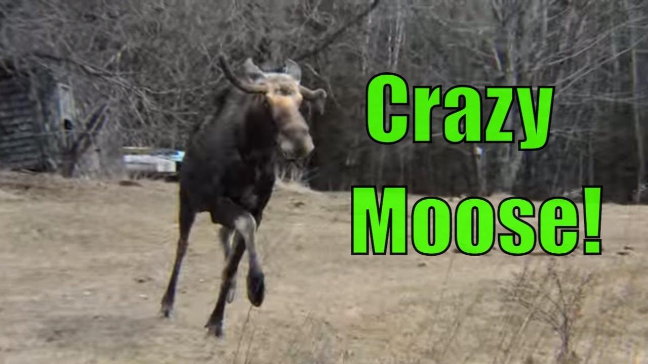 Crazy Moose