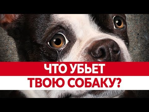 Вопрос: Почему собакам многие владельцы дают сладкое, зная что это вредно?