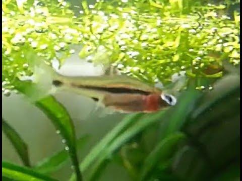 Malattie pesci d 39 acqua dolce esoftalmo malattia occhio for Pesci acqua dolce