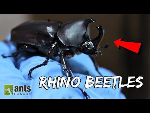 I Raised Massive Rhino Beetles