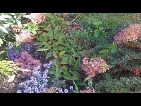 Как размножить гортензию делением куста