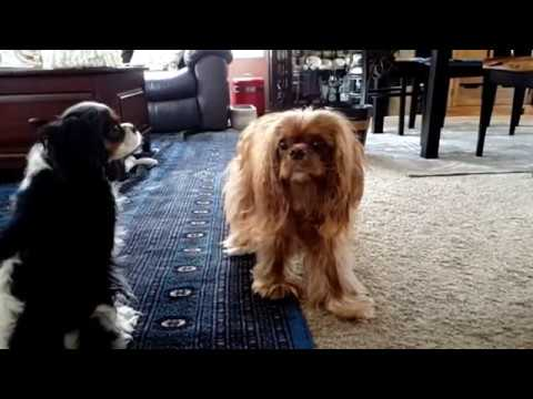 Action pounce in slow motion - Cavalier King Charles Spaniel
