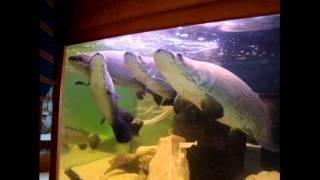 PIrauku, Arapaima Gigas - Park Edukacyjny Zoo-Egzotyczne Kaszuby