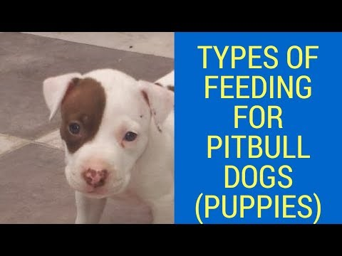 Types Of Feeding For Pitbull Dogs (PUPPIES)