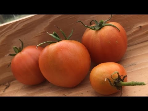 how-to-save-your-tomato-seeds!!---the-mac's-happy-homestead