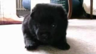 Schipperke puppy Dingo