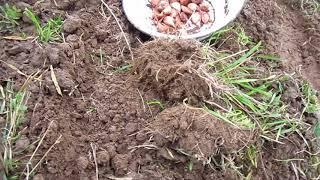 Посадка чеснока под солому.