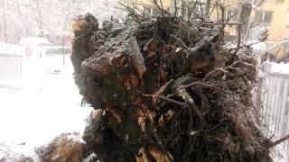 Plop smuls din radacina in Mazepa 2