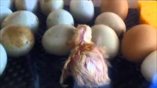 poule araucana en couveuse