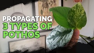Propagating 3 Types of Pothos via Water Cuttings (Foolproof Method) 🌱