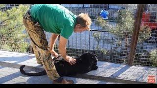 УДИВИТЕЛЬНОЕ   ВИДЕО  !!! Олег Зубков  в вольере с беременной  пантерой !!! Крым .Тайган