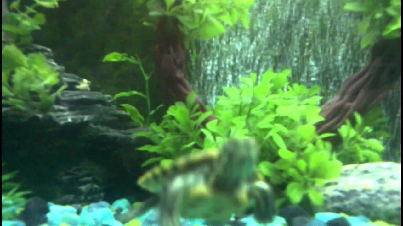 Acquario acqua dolce tartarughe youtube for Acquario tartarughe grandi