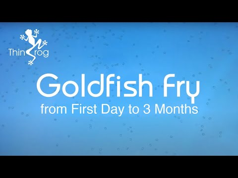 Goldfish Fry From First Day To 90 Days