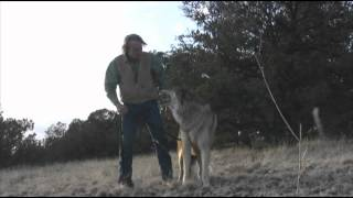Kota wolf dog challenges wolf daddy