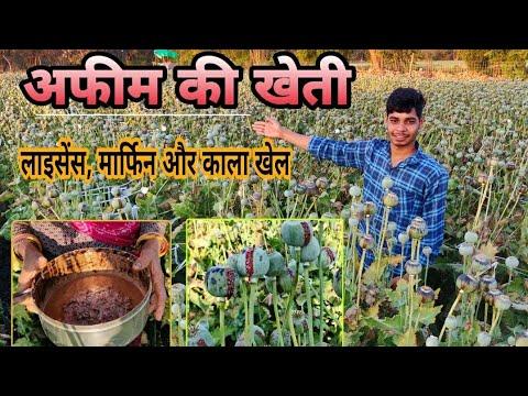 Download अफीम की खेती से किसान ऐसे बनते हैं लखपति   अफीम का पट्टा, मार्फिन और बिजाई ऐसे करें   Afim ki kheti