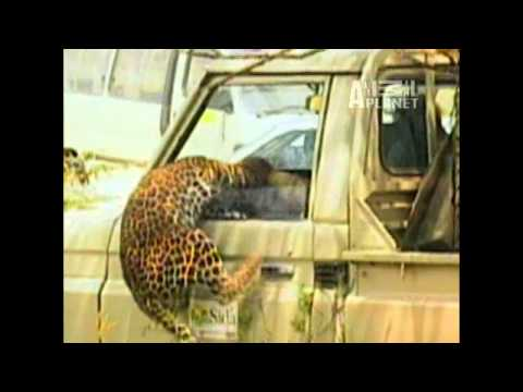 AMAZING ANIMAL leopard  ATTACK on MAN