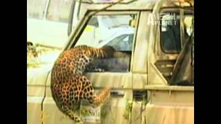 Gambar cover AMAZING ANIMAL leopard  ATTACK on MAN