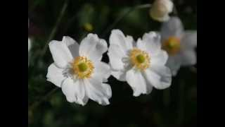 Anemone x hybrida 'Honorine Jobert' video
