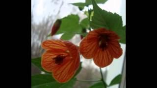 Любимые растения-Абутилон