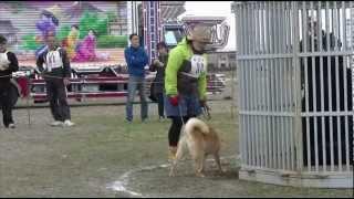 幼犬牝 獣猟競技会で熊がきなこちゃんに腹を見せてくれた(笑)