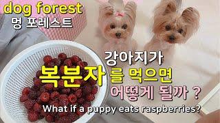 강아지가 복분자 (산딸기)를 먹으면 어떻게 될까요 ? …
