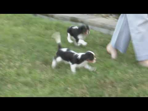 Henry Miller's Cavalier  puppies  for sale