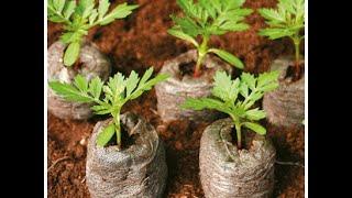 Как посадить рассаду томатов и перцев в торфяные таблетки.(Видео показывает, что из себя представляют торфяные таблетки и как в них садить рассаду., 2016-03-23T06:32:53.000Z)