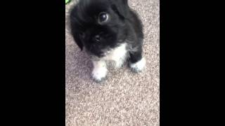 Puppy Frank - Shih Tzu Cross Pug