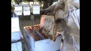 BEEKEEPING: Beehives Making New Queens Check-up.