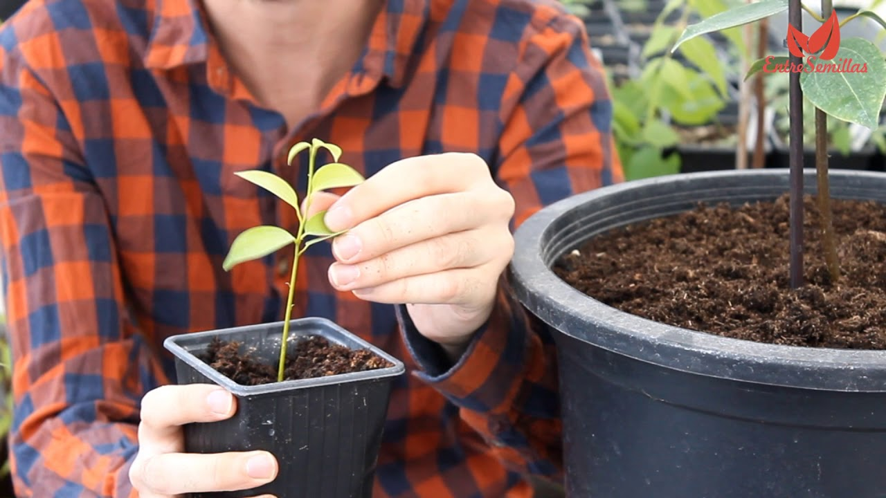 Canela Curiosidades Y Consejos De Cultivo Cinnamomum Zeylanicum Verum Youtube