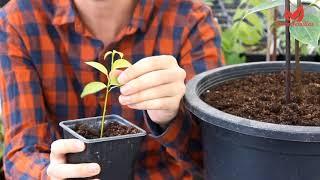 Canela - Curiosidades y consejos de cultivo (Cinnamomum zeylanicum / verum)