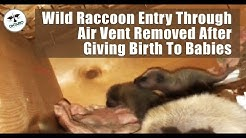 Wild Raccoon Entry Through Air Vent Removed After Giving Birth To Babies