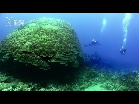 Join a dive to see the largest corals on Earth | Natural History Museum
