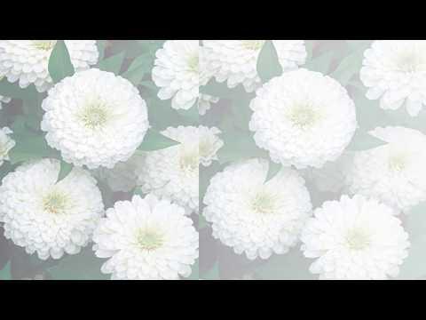 Zinnia Flower -  White