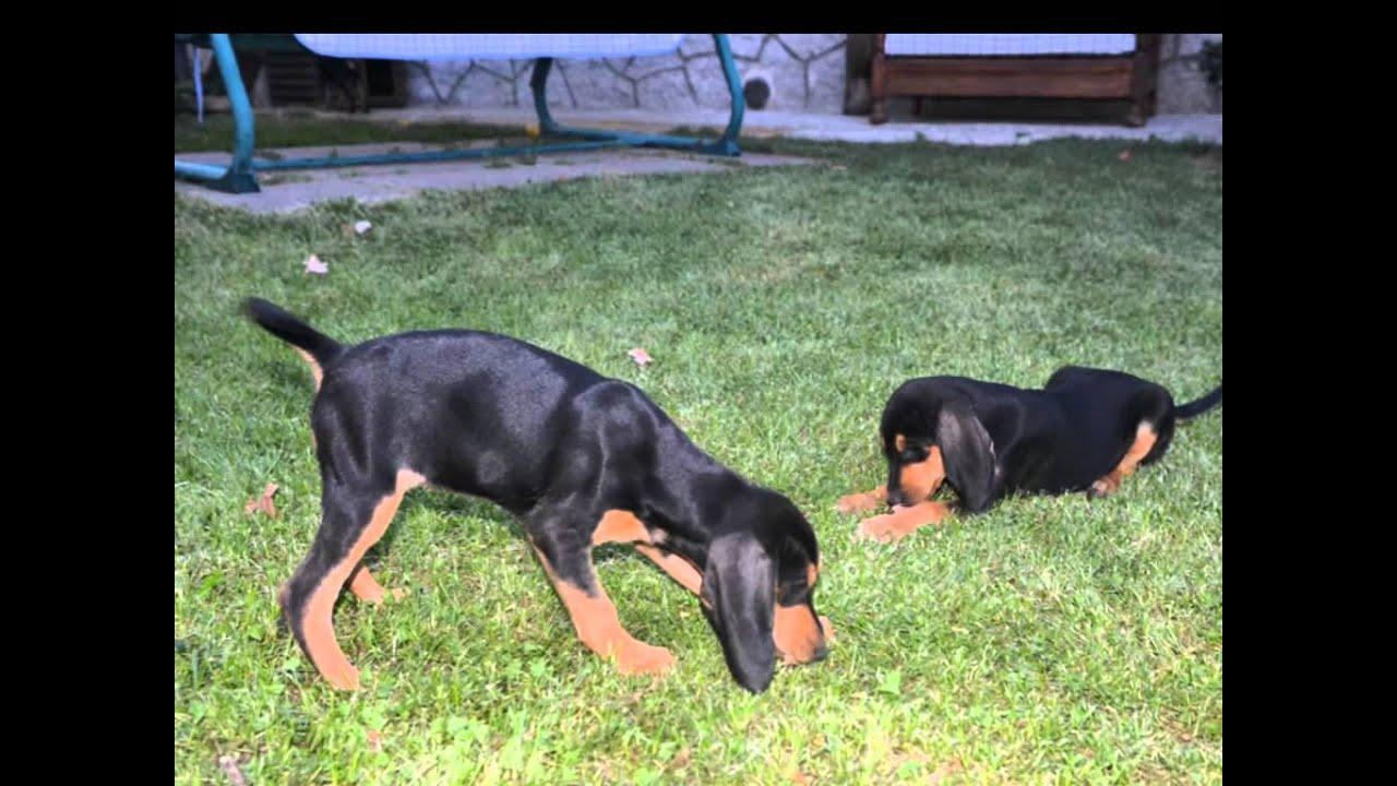 Vendesi cuccioli segugio italiano Nero Focato