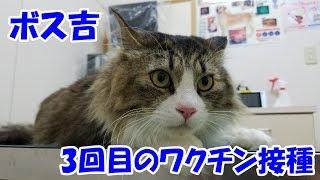 Boss Cat  the third vaccination