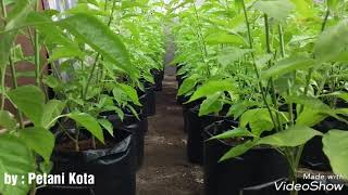 Budidaya cabe rawit hidroponik di polybag~ How to plant chilies in polybag