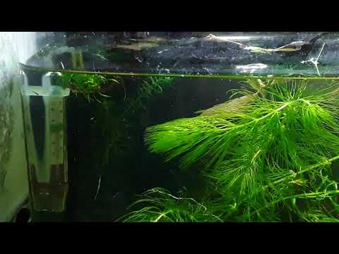 Download MORE FRY! cherry barb fry 3 days old