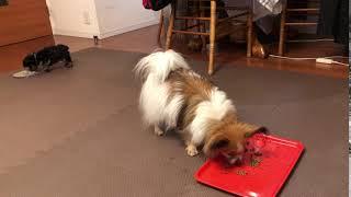 愛犬パピヨンとヨーキーと過ごす平凡な日常風景です。 一人になっても食...