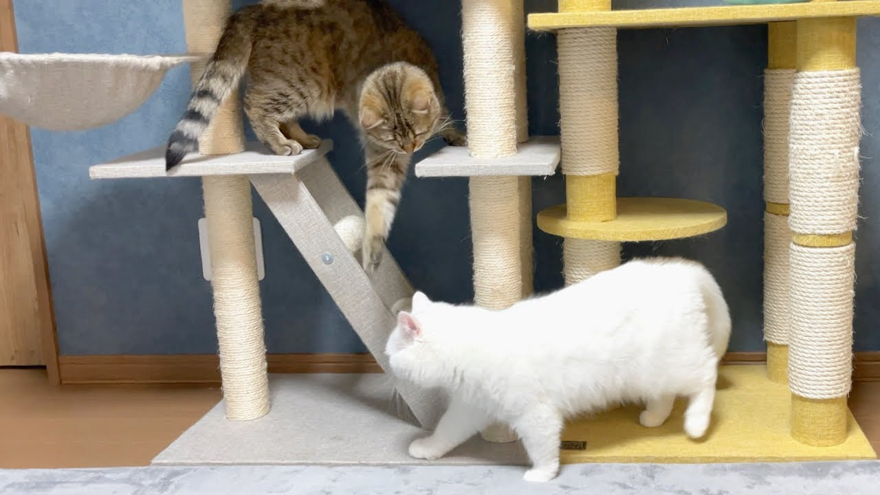 姉猫に構って欲しくてうざ絡みする妹猫!